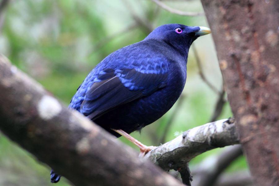 アオアズマヤドリ | 鳥の図鑑
