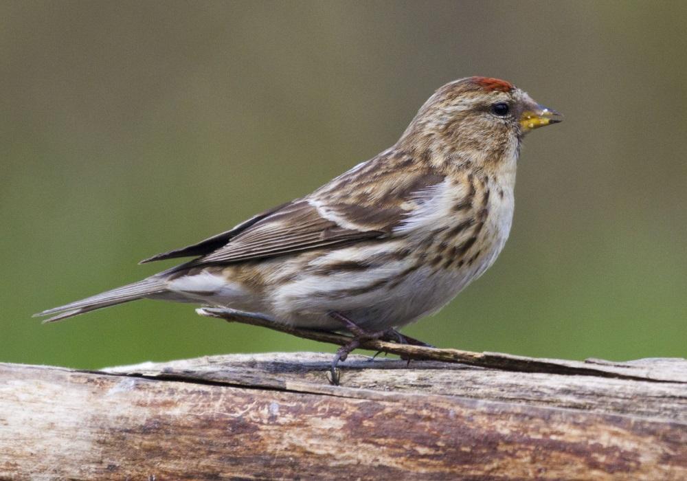 ベニヒワ|鳥の図鑑