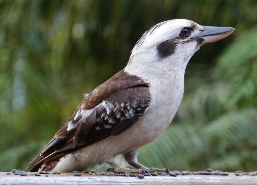 ワライカワセミ 鳥の図鑑