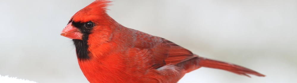 赤い鳥の種類 | 鳥の図鑑
